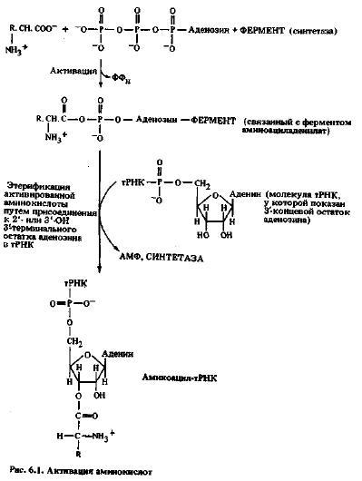 Аминоацил-тРНК-синтетаза